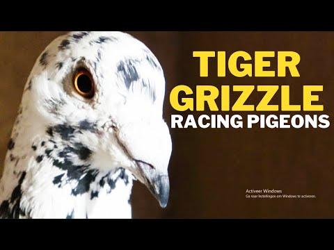 Tiger Grizzle Racing Pigeons Netherlands