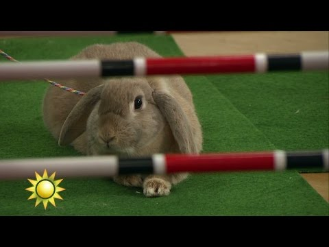 Kaninhoppning i studion - men Shenzi vägrar - Nyhetsmorgon (TV4)