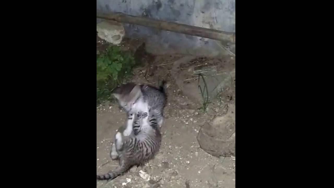 Lucu Gemesin Tingkah Laku 3 Anak Kucing Di Malam Hari