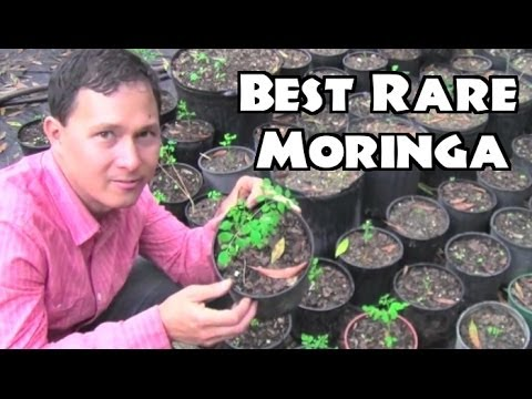 Best Moringa to Grow & Rare Herb Nursery