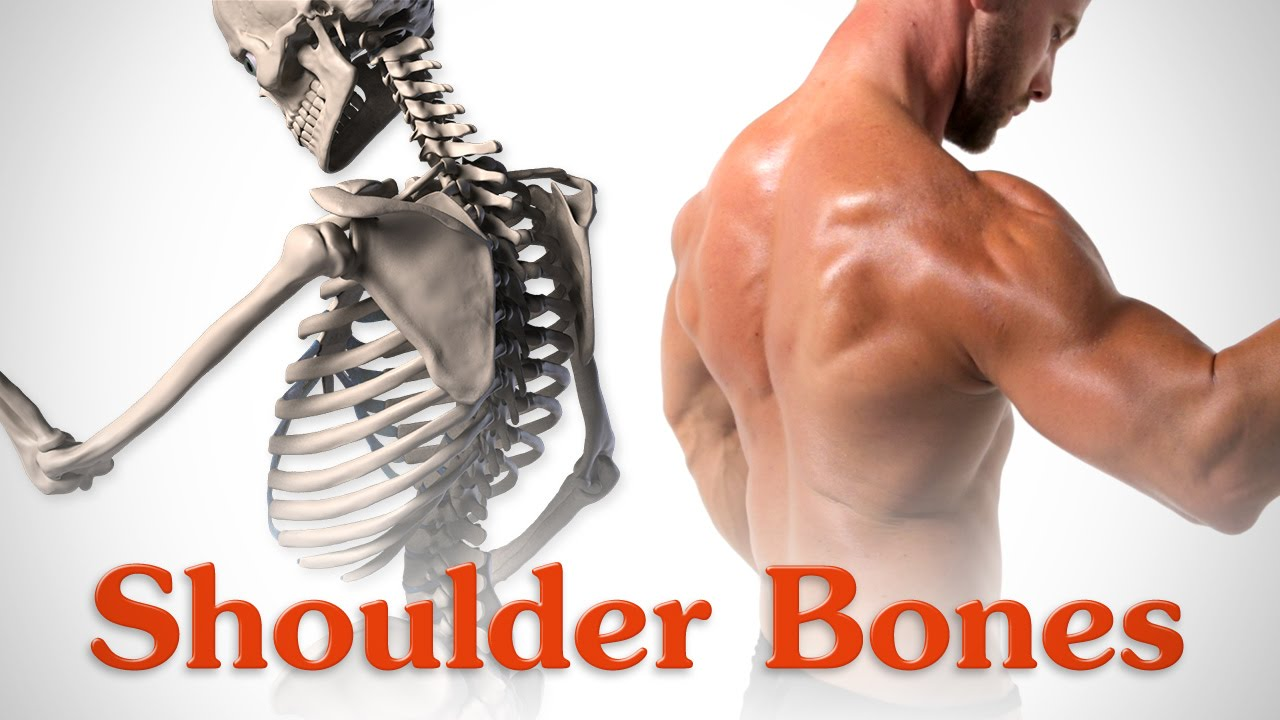 Anatomy of the Shoulder Bones - YouTube
