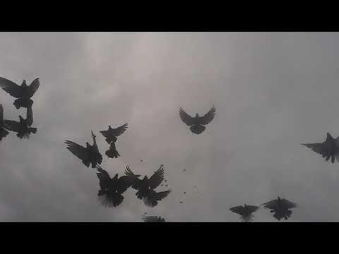 Николаевские голуби 2020 октябрь месяц