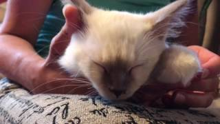 Ragdoll Kitten - Котенку 3 Месяца - Сравнение возраста котенка с возрастом ребенка.