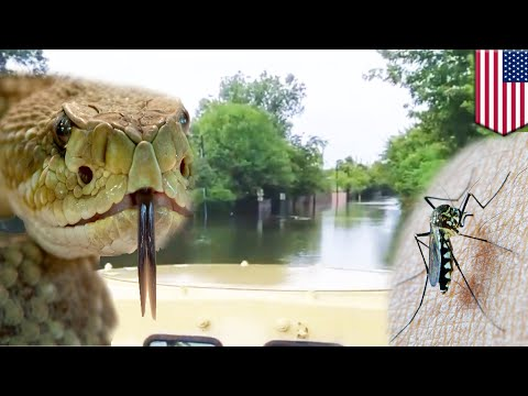 Hurricane Harvey Houston flood: Vibrio bacteria and snakes maybe in the water - TomoNews