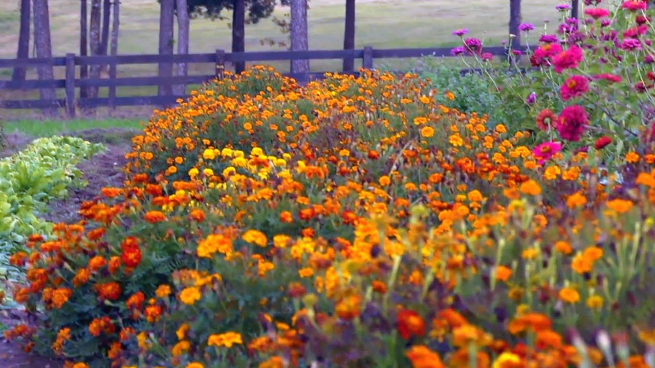 Free Early Fall Wallpaper Marigolds For The Early Fall At Home With P Allen Smith