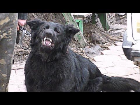 АГРЕССИВНЫЙ черный КОБЕЛЬ НЕМЕЦКОЙ ОВЧАРКИ. AGGRESSIVE MALE black German Shepherd. Одесса.