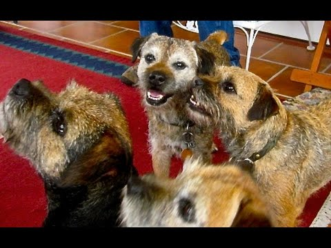 Border Terriers: Ode to Rory