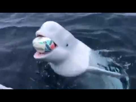 Una beluga jugó al rugby con un marinero en medio del Ártico