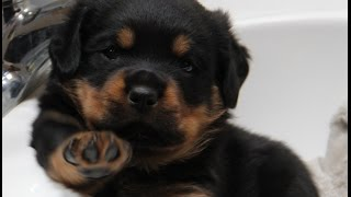 5wk Old Rottweiler Puppy's 1st Obedience Training Session