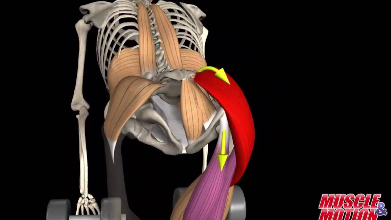 Gluteus Maximus Muscle - YouTube