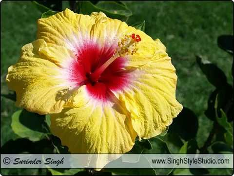 Indian Flowers Photography by Nature Photographer Surinder Singh, New Delhi, India