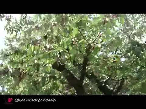 Tham quan vườn cây cherry căng mọng nước
