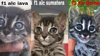 F1 charcoal hybrid asian leopard cat dari 3 sub spesies , jawa ,sumatera dan borneo