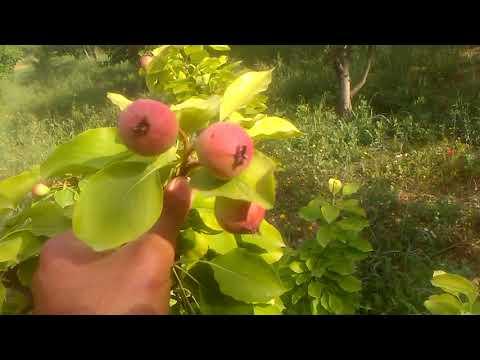 Armut ağacı meyvesinin