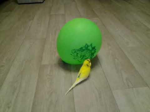 Попугай разговаривает с шариком