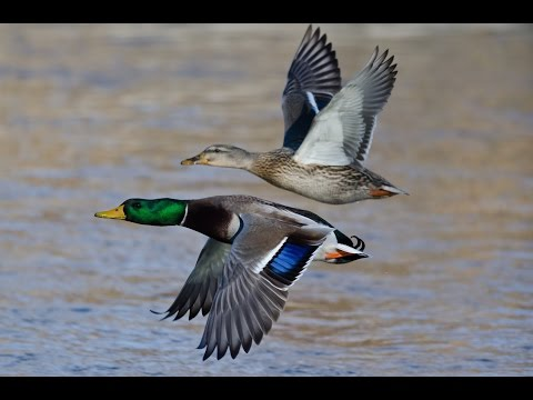 Missouri River Mallards