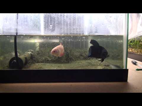 Mating Giant Bettas 5th