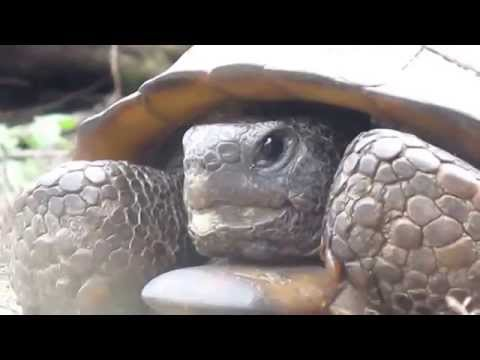 Gopher Tortoise Educational Fun Facts