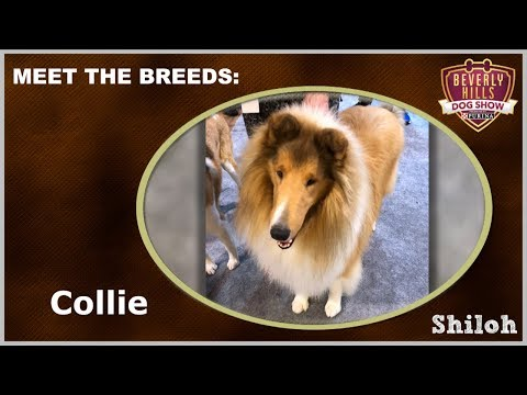 The Beverly Hills Dog Show: Meet The Breeds - Collie
