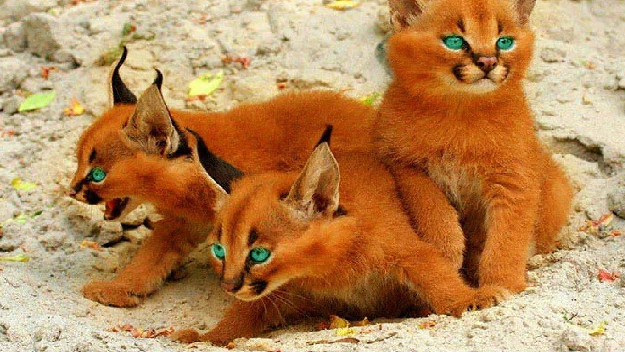 7 Ender (Az Bulunan) Kedi Irkı