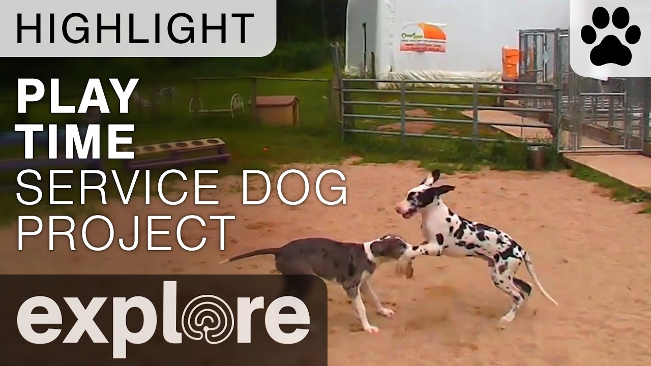explore org service dog project Puppies - great danes nursery cam - service dog project powered by exploreorg - explore dogs.