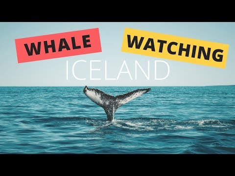 Iceland Tour: Whale Watching In Husavik With Gentle Giants