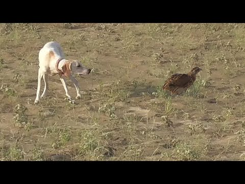 Super Training of Pointer Dog || Well-done baby || Wildlife Today