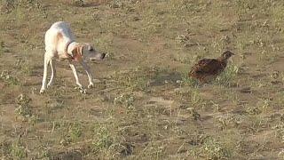 Super Training of Pointer Dog || Welldone baby || Wildlife Today