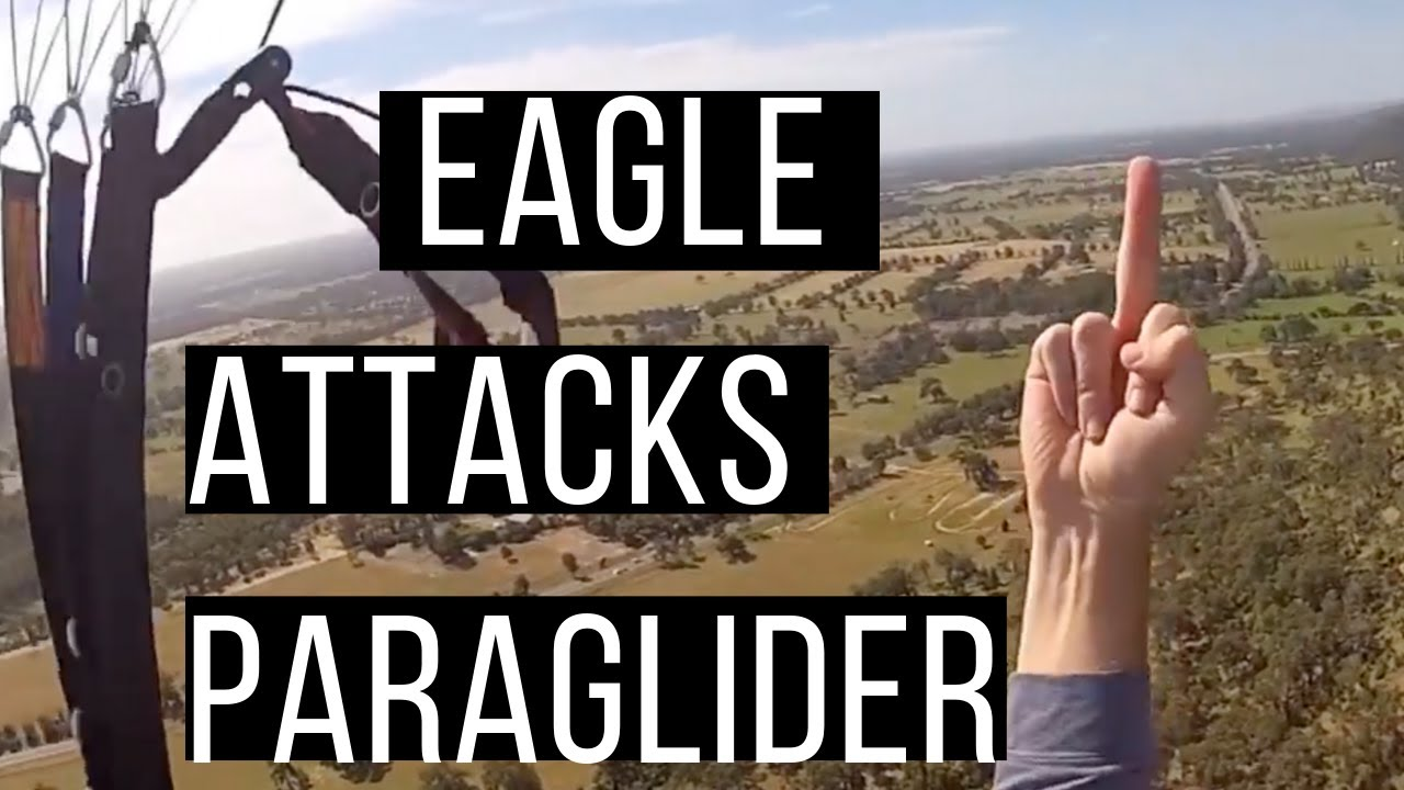 Wedgetail Eagle Attacks Paraglider