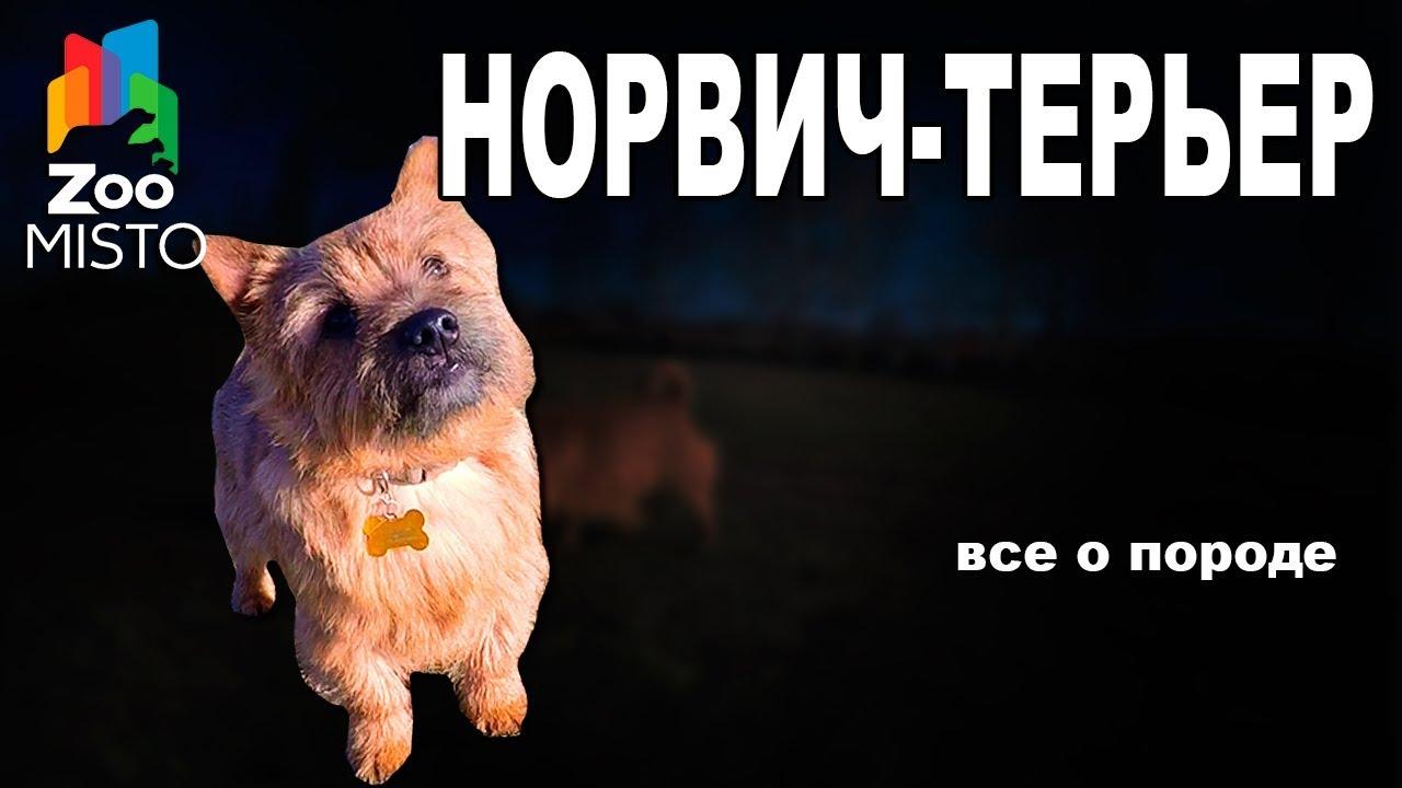 Норвич-терьер - Все о породе собаки | Собака породы - Норвич-терьер