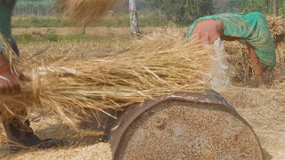 Young farmers threshing newly harvested rice stalks by hands - Delhi/NCR, India