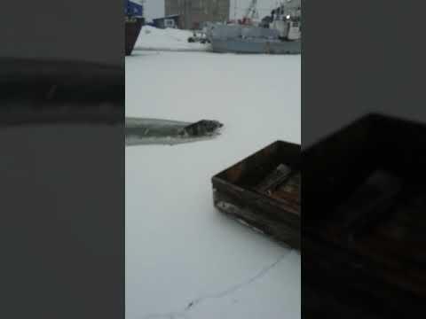 В Поронайске спасли провалившуюся под лед собаку