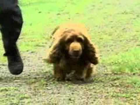 Sussex Spaniel - Chapter 4