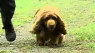 Take a closer look at the calm Sussex Spaniel. For future videos on...