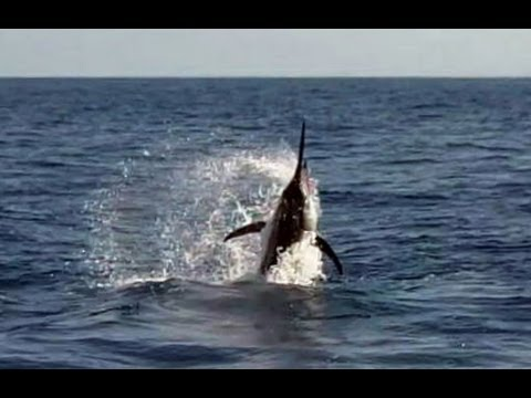 Panama Marlin Fishing - Two Black Marlin Released In One Day At Hannibal Bank!