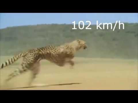 Cheetah Running 102 Km/Hr