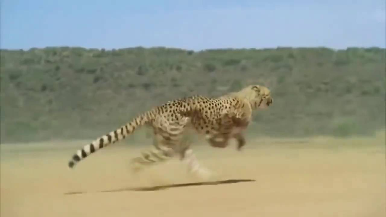 "Image result for cheetah runs 102 km per hour"""