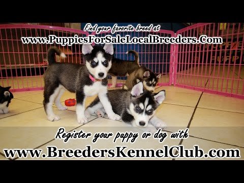 Siberian Husky, Puppies For Sale, In Mobile, County, Alabama, AL, 19Breeders, Tuscaloosa, Decatur