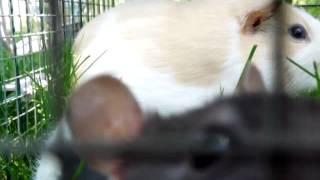 Rat, Guinea Pig, And Pomeranian Part 2