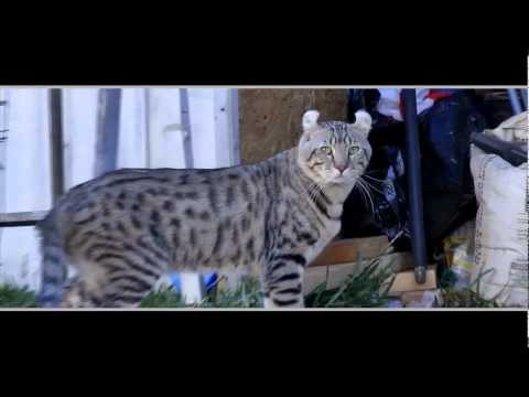 Lynx Hybrid - Amazing cat video - My Cat Goliath tries to escape.