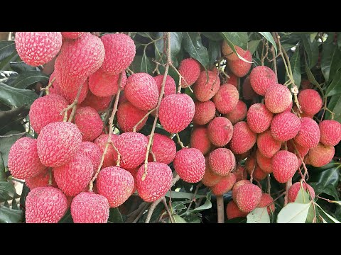 Litchi Plant (Lychee) Farming In SucessFull. Contact : 9333227579