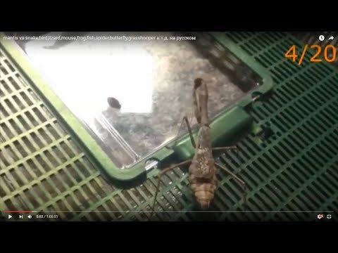 mantis vs snake,bird,lizard,mouse,frog,fish,spider,butterfly,grasshooper,etc (with text in end)