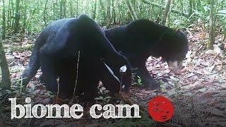 Sun Bears Camera Trap Footage   Biome Cam