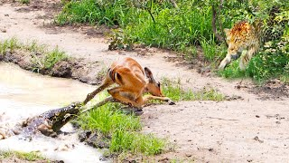 Impala Escapes Crocodile Only To Get Caught by Leopard!