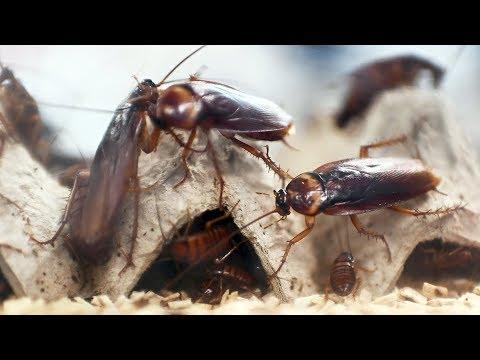 Перерабатывать пищевые отходы в Китае помогают тараканы