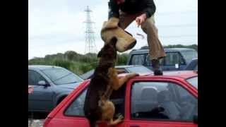 Police Dog Beny In Training