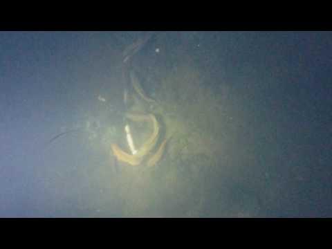 자연산 장어  특이한 행동먹이 먹는방법 촬영