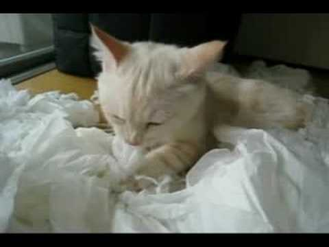 Cat that plays with tissue