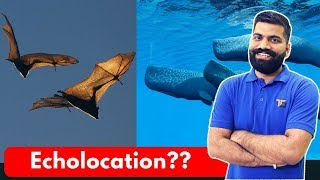 What is Echolocation? Eyes for Bats, Dolphins, Whales and SONAR Explained