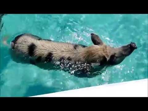 The Swimming Pigs of Big Major Cay, Exumas
